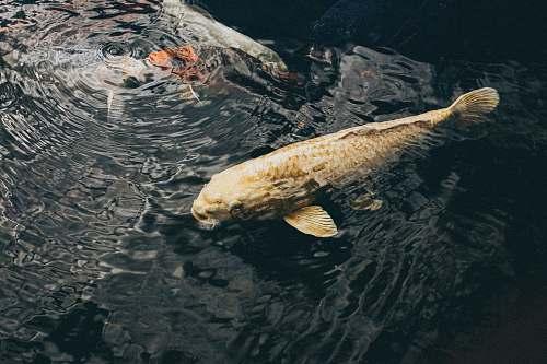 fish yellow fish goldfish