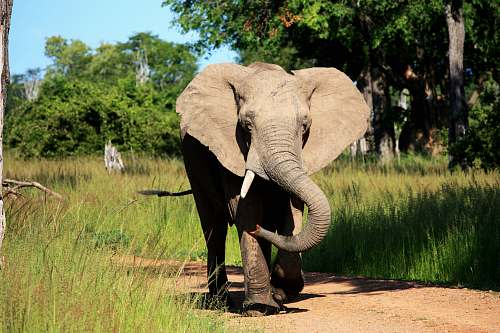 wildlife young elephant walking on rough pathway inline of grasses during daytime mammal