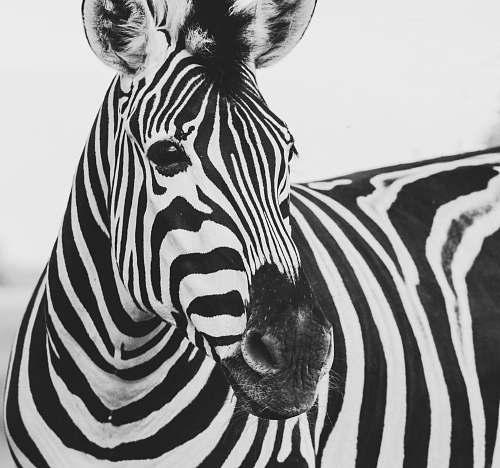 black-and-white zebra animal zebra