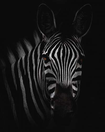 black-and-white zebra in close-up photography zebra