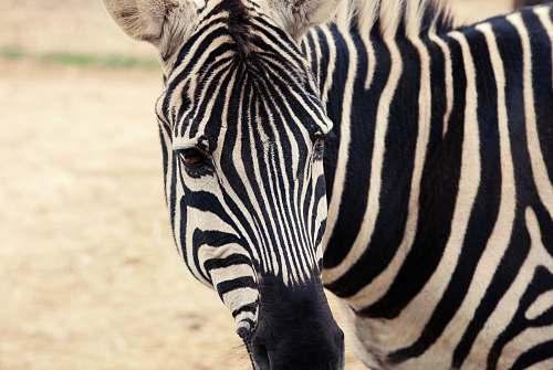 mammal zebra zebra