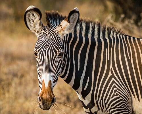 zebra zebra standing on field wildlife