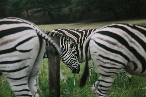 zebra zebras on green grassland during daytime mammal