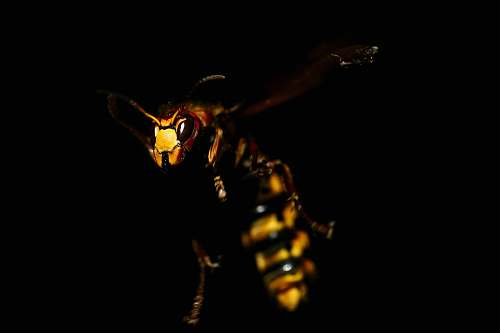 insect bee in mid air wasp