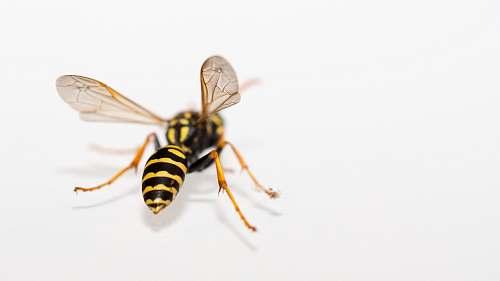 invertebrate yellow and black bee wasp