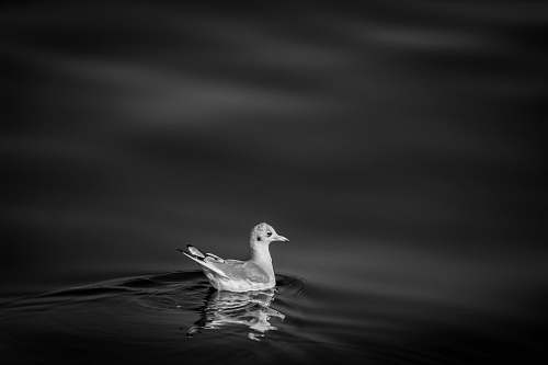 photo animal bird swimming during nighttime black-and-white free for commercial use images
