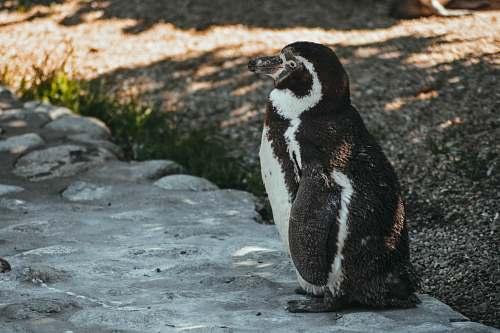 animal black and white penguin penguin
