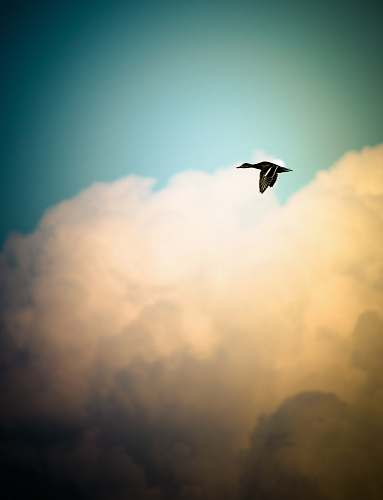 photo animal black duck flying over white sky during daytime flying free for commercial use images