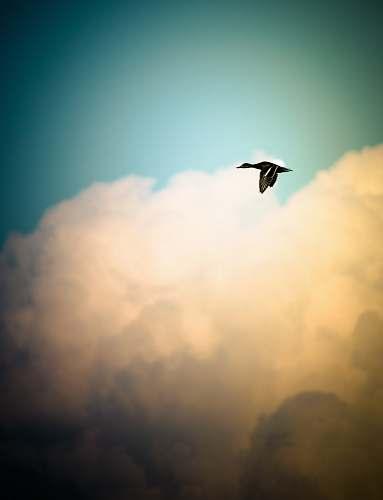 animal black duck flying over white sky during daytime flying