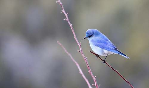 photo animal blue and white bird photography bluebird free for commercial use images