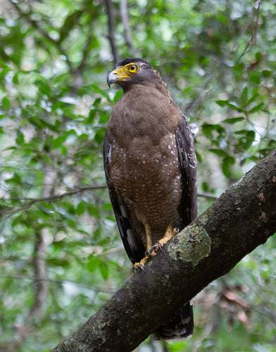 animal brown eagle on the tree trunk accipiter