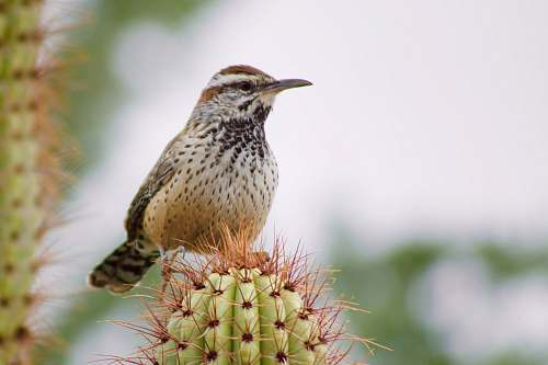 animal brown hummingbird perching on green cactus plant plant
