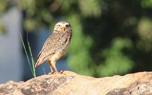animal brown owl on rock owl