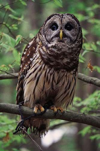 animal brown owl perched on tree owl