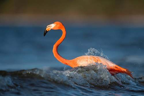 photo animal close up photography of flamingo on body of water flamingo free for commercial use images