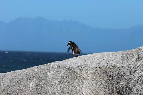 animal depth photography of a penguin on rock penguin