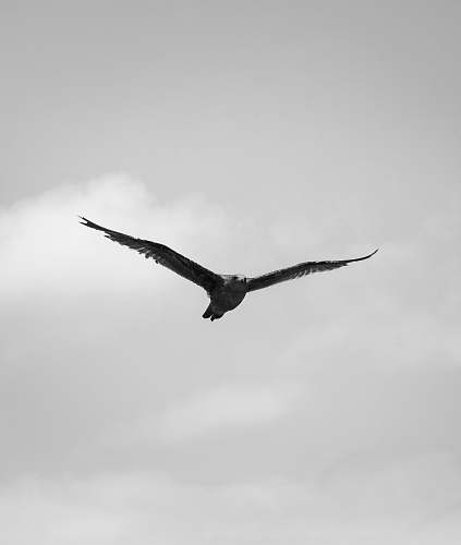 flying grayscale photography of bird black-and-white