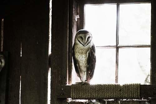 animal grey and black barn owl near glass window during daytime window