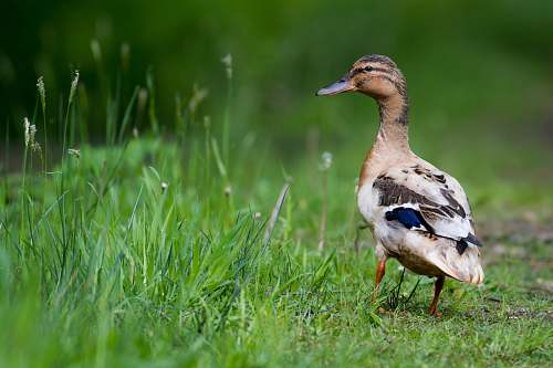 photo animal selective focus photo of brown and black duck near grass fields duck free for commercial use images