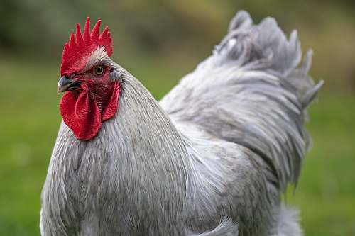 chicken white rooster in close-up photo poultry
