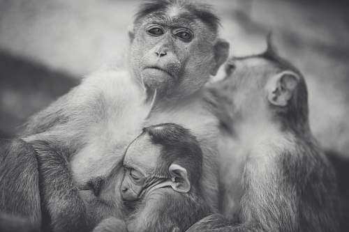 animal grayscale of monkey family photo grey