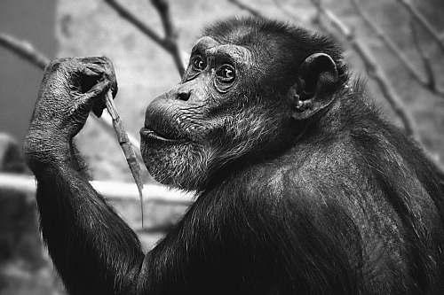 ape grayscale photo of monkey wildlife