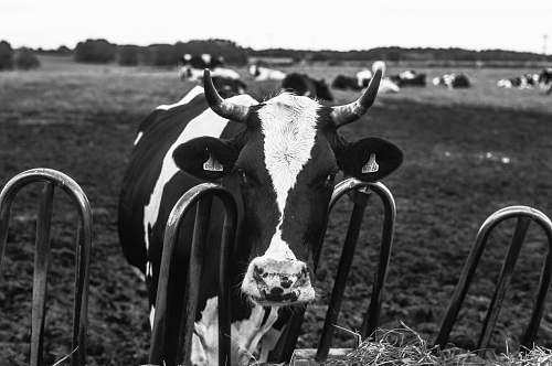 animal black and white cow black-and-white