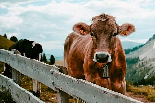 animal brown cow beside wooden fence cattle