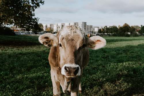 animal cow on green field cattle