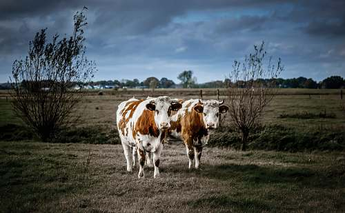 animal shallow focus photo of white and brown cows cattle