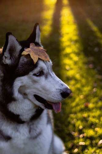 husky portrait photo of white and black Siberian Husky canine