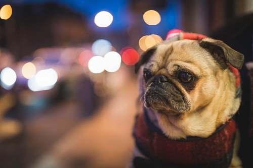 pug selective focus photography of fawn pug canine