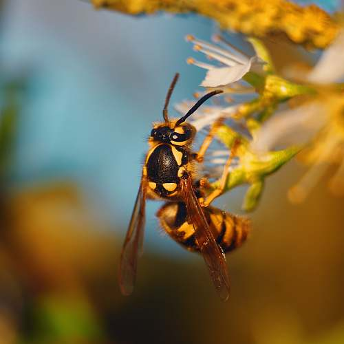 wasp wasp perched on flower andrena