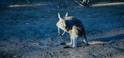 wallaby brown kangaroo animal