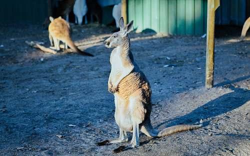 wallaby white and brown kangaroo mammal