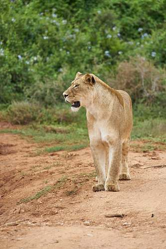 animal adult lioness lion
