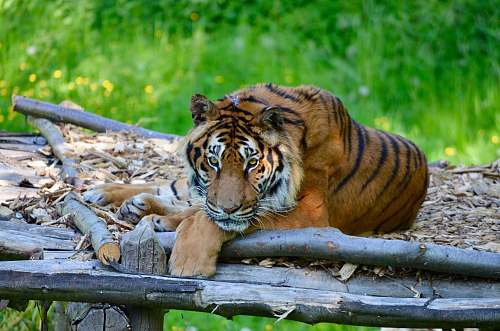 animal adult tiger lying on wooden platform tiger