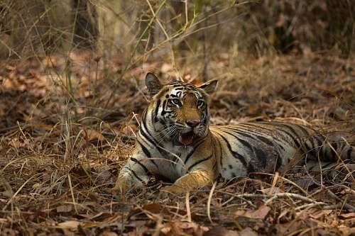tiger brown and black tiger lying on dried leaves animal