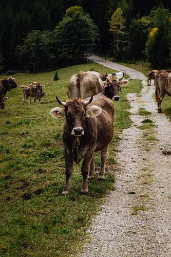 cattle brown cattle animal