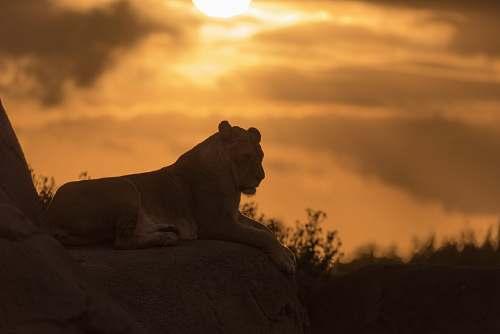 lion brown cougar wildlife
