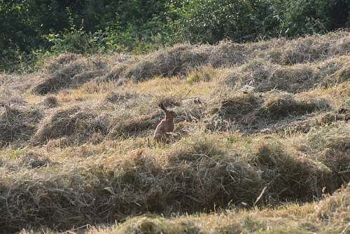 animal brown hare on field kangaroo