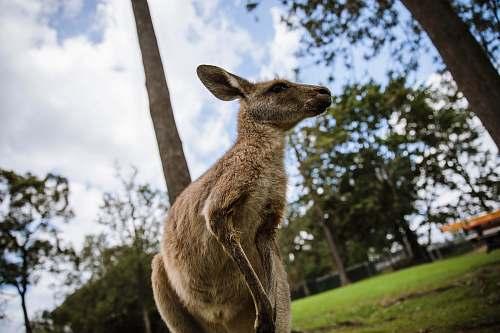kangaroo brown kangaroo wallaby