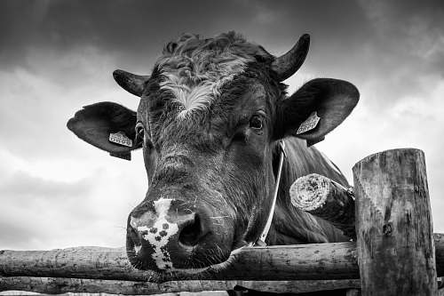 black-and-white grayscale photo of cow near fence cow