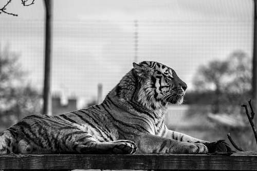 tiger grayscale photo of tiger black-and-white
