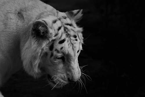 black-and-white greyscale photo of tiger wildlife