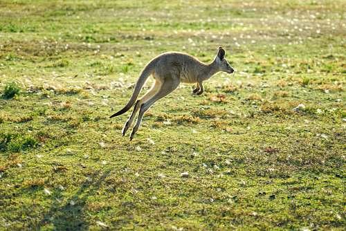 animal kangaroo jumping during daytime kangaroo