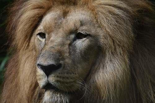 lion lion head photography wildlife