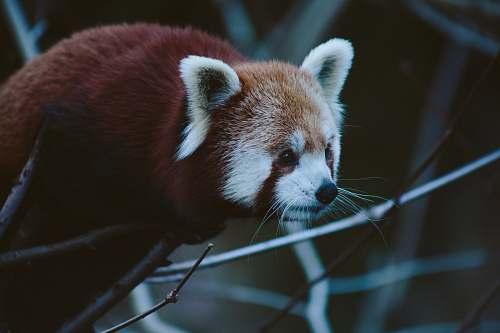 animal red panda on tree branch wildlife