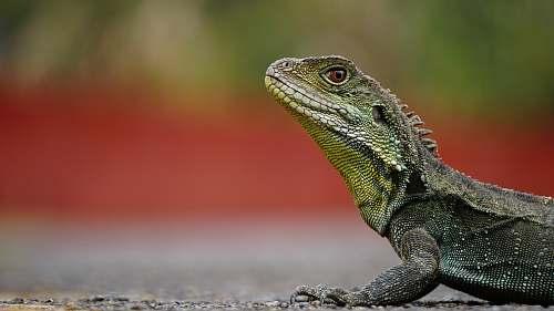 lizard macro photography of green iguana on brown surface animal