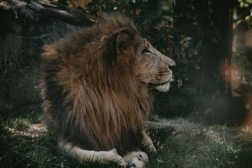 animal adult lion lion